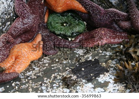Starfish with a sea anemone exposed by low tide in southeast Alaska