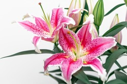 Stargazer Lilies close up on white background, macro