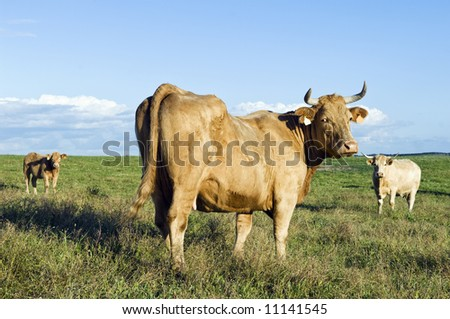 Staring cow in a green grass field.  Alentejo, Portugal