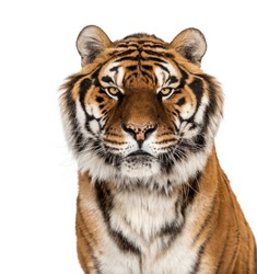 Staring Tiger's head portrait, close-up, isolated on white