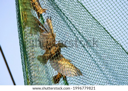 Starling bird cought in ornithology nest for binding and study their migration roots. Stock photo ©