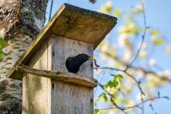 Starling bird ( Sturnus vulgaris ) bringing worm to the wooden nest box in the tree. Bird feeding kids in wooden bird house hanging on the birch tree outdoors