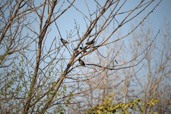 Starling birds that migrate to Pakistan from glacial areas.