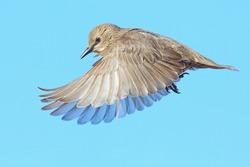 Starling Juvenile in flight on blue sky