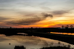 Starling murmurations. A large flock of starlings fly at sunset just before entering the roosting site in the Netherlands. Hundreds of thousands starlings make big clouds to protect against raptors
