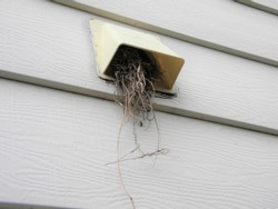 Starling nest in a dryer vent