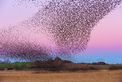 Starling Roost in winter in Scotland