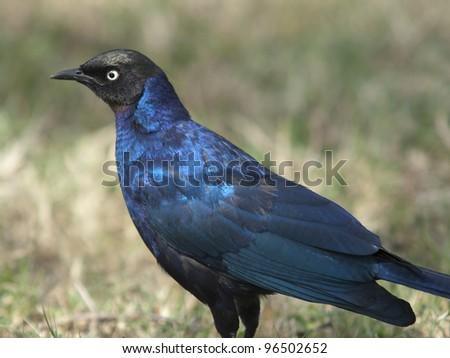 Starling Rueppelu ,  Lamprotornis purpuropterus