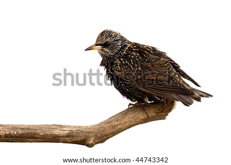 starling surveys the area for food; white background