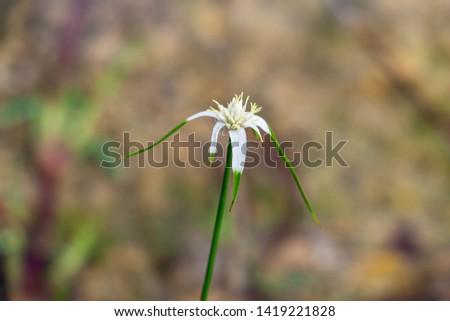 Starrush whitetop a.k.a. white star sedge (Rhynchospora colorata) closeup - Topeekeegee Yugnee (TY) Park, Hollywood, Florida, USA Stock fotó ©