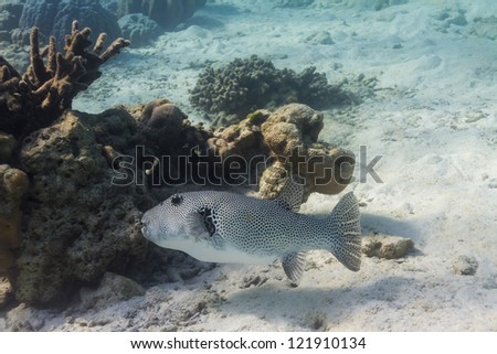 Starry pufferfish at Surin national park