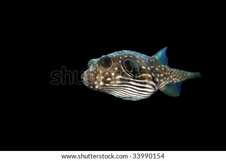 Stars and Stripes Puffer (Arothron hispidus) , isolated on black background