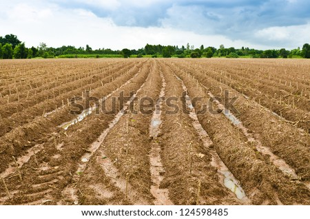 start cultivation Cassava or manioc plant field at Thailand #124598485