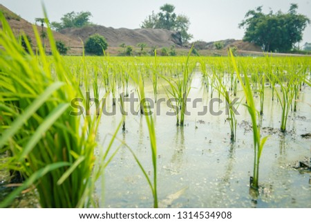 Start planting rice fields in the fields, Rice fields in the countryside #1314534908