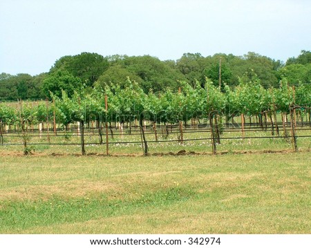 Starting of the growing season in the vineyard
