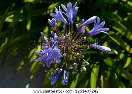 Stately deep blue agapanthus Lily of the Nile genus in subfamily Agapanthoideae of plant family Amaryllidaceae contrasted against  the long green leaves is a popular feature plant .