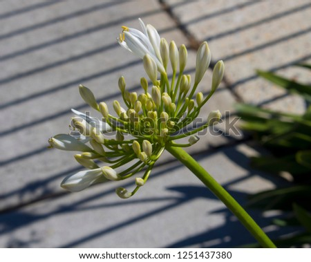 Stately snow white agapanthus Lily of the Nile genus in subfamily Agapanthoideae of plant family Amaryllidaceae contrasted against  the long green leaves is a popular feature plant .