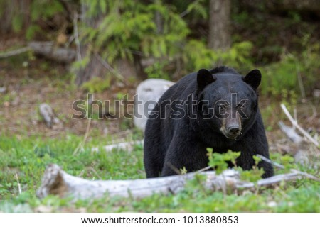 Stattilicher Schwarzbär im Wells Gray Provincial Park, British  #1013880853