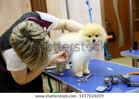 Stavropol , April 20, 2019,dog Spitz in the grooming salon. Grooming animals, grooming, drying and styling dogs, combing wool. Grooming master cuts and shaves, cares for a dog.