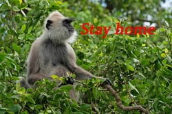 Stay home red caption - Coronavirus pandemic concept with monkey sitting on green tree