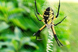 Steelers Spider Alien Like Black and Yellow Garden Spider belongs to the genus Argiope family Araneidea. Habitat extends from USA to Argentina. Photo by Ted Webb