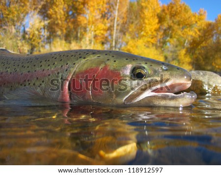 Steelhead trout caught in the Boise River - stock photo
