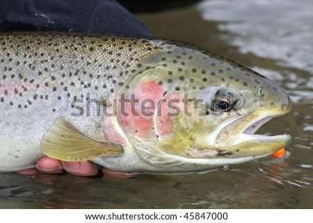 Steelhead trout caught on a fly rod.