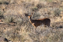 Steenbok male (Raphicerus campestris) in the wild at Karoo national park, South Africa, making eye contact with the camera and selective focus on the animal with blurry background