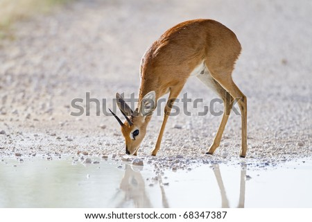 Steenbok standing at waterhole;Raphicerus campestris