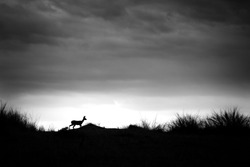 Steenbok walking along crest of sand dune with high contrast stormy sky in Kalahari Desert, South Africa