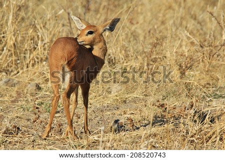 Steenbok - Wildlife Background from Africa - Shy and Elusive Beauty in Nature