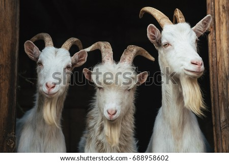 Steep goats,three goats on a dark background, goat #688958602