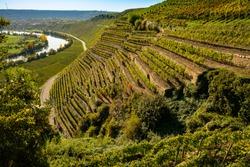 Steep slope vineyard in Germany with river Neckar