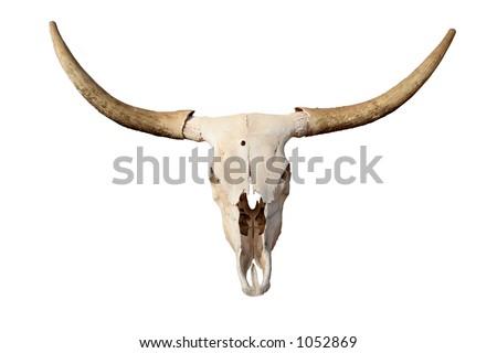 steer skull isolated - closeup of longhorn skull
