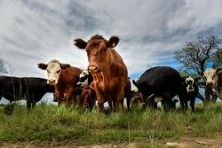 Steers fed on pasture, La Pampa, Argentina