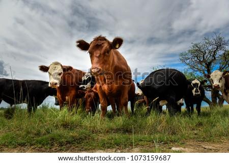 Steers fed on pasture, La Pampa, Argentina #1073159687