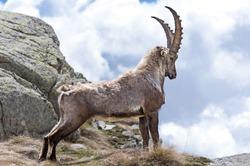 Steinbock. Alpine Ibex (Capra ibex), Gran Paradiso National Park, Italy