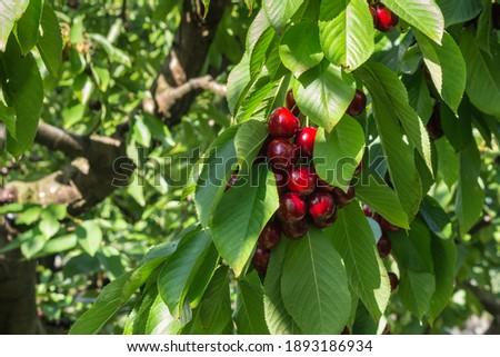 Stella cherry tree with ripe dark red cherries hanging on tree branch Stock photo ©