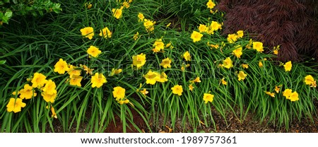 Stella D'Oro Daylily blooms brighten the landscape in summer Foto stock ©