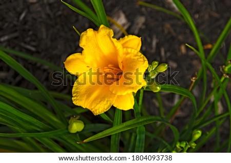 Stella D'Oro Reblooming Daylily (Hemerocallis Stella D'Oro) Foto stock ©
