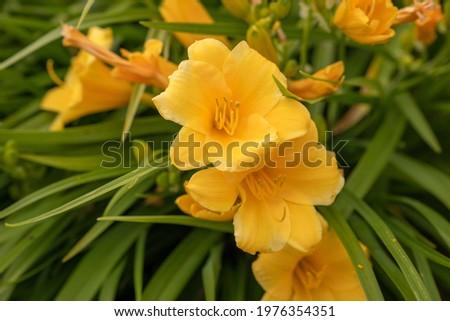 Stella D'Oro Reblooming Daylily Yellow (Hemerocallis Stella D'Oro) Foto stock ©