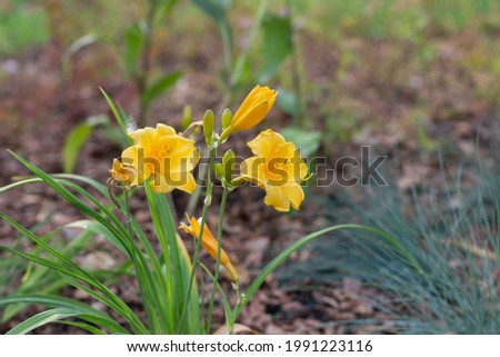 Stella' (Daylily Stella de Oro) is the golden-yellow flower with clumps of arching foliage on the nature background with selective focus.  Foto stock ©