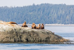 Stellar sea-lions in the sun on a rock in Johnstone strait, Vancouver Island