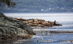 Stellar sea-lions on a rock in Johnstone strait, Vancouver Island, British Columbia, Canada