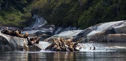 Stellar Sea Lions Sunbathing near Telegraph Cove
