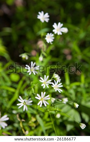 Stellaria: fragile small white flowers like stars in green grass