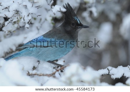 Steller's Blue Jay on a snow-laden tree branch
