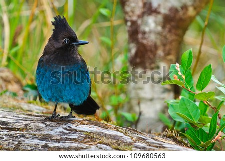 Steller's Jay on a fallen tree British Columbia Canada