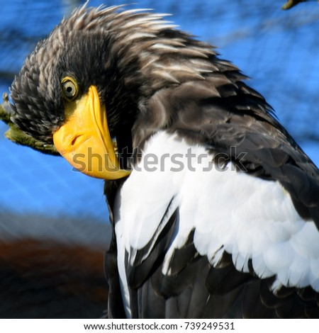 Shutterstock Steller's sea eagle (Haliaeetus pelagicus). Square shape close up image of large bird of prey in the family Accipitridae. On average, it is the heaviest eagle in the world.