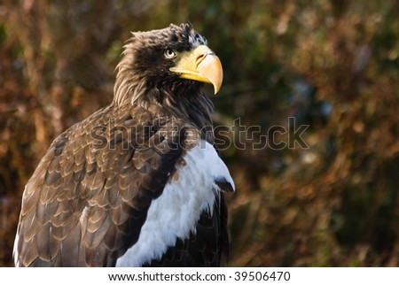Steller's Sea Eagle. Mainly fish eating bird and biggest eagle in the world